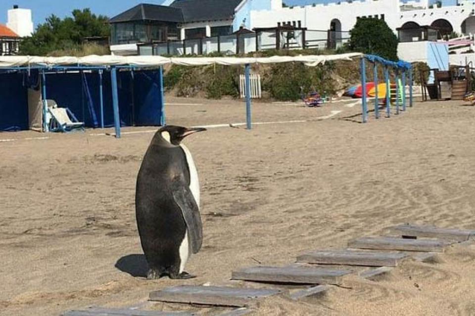 Pinguino en miramar